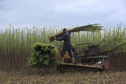 Harvesting Willow for production.