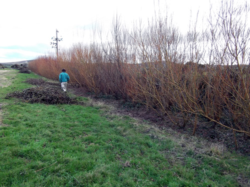 This coppiced hedge of Willow is a windbreak as well.