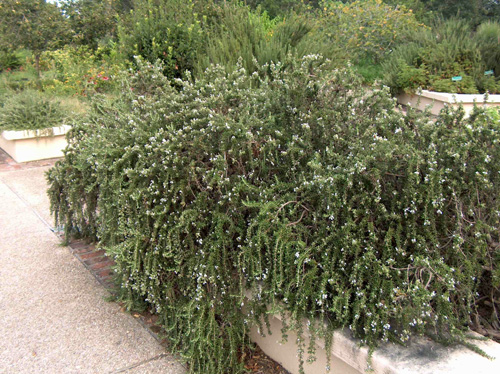 Rosemary also has a low-growing, creeping form.