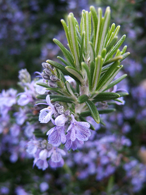 Rosemary flowers are beautiful and edible.
