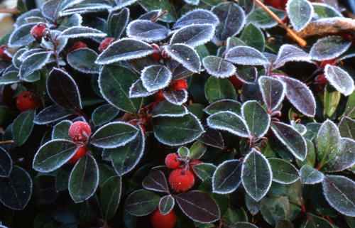 Wintergreen with frost.